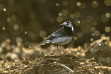 Adult Male Pied Wagtail in Spring Plumage  Feeding on Dung Flies  Hertfordshire  England  UK