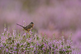 Dartford Warbler (Sylvia Undata) Male Perched on Heather - Ling (Calluna Vulgaris)  Suffolk  UK