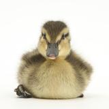 Mallard Duckling (Anas Platyrhynchos) Portrait  Sitting  Aged 1 Week