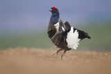 Black Grouse (Tetrao Tetrix) Male Displaying at Lek  Cairngorms Np  Grampian  Scotland  UK  April