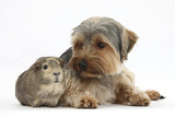 Yorkshire Terrier Dog  16 Months  and Guinea Pig