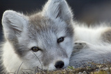 Arctic Fox (Alopex Lagopus) Portrait  Trygghamna  Svalbard  Norway  July