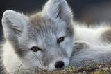 Arctic Fox (Alopex Lagopus) Portrait, Trygghamna, Svalbard, Norway, July Papier Photo par De La