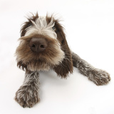 Brown Roan Italian Spinone Puppy  Riley  13 Weeks  Lying with Head Up