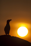 Silhouette of Razorbill (Alca Torda) Against Sunset June 2010