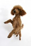Red Toy Poodle  Reggie  Standing on Hind Legs with Paws Raised
