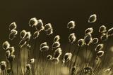 Harestail Cotton-Grass (Eriophorum Vaginatum)  Backlit in Bog Moorland  Scotland  UK  May