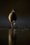 Moorhen (Gallinula Chloropus) Adult Walking on Frozen Lake at Dusk  Backlit  Derbyshire  UK