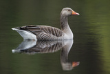 Greylag Goose (Anser Anser) Adult on Water  Scotland  UK  May 2010