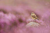 Wheatear (Oenanthe Oenanthe) Perched on Gritstone Rock Amongst Flowering Heather  Peak District Np