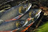 Arctic Charr (Salvelinus Alpinus) Males Showing Breeding Colours  in Spawning River  Cumbria  UK