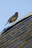 Male Blackbird (Turdus Merula) Perched on Old Barn Roof  Inverness-Shire  Scotland  UK  November