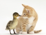 Ginger Kitten and Mallard Duckling  Beak to Nose