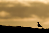 Golden Plover (Pluvialis Apricaria) Silhouette at Sunrise on Moorland  Scotland  UK  June