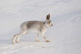 Mountain Hare (Lepus Timidus) in Winter Coat  Stretching on Snow  Scotland  UK  February