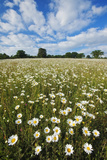 Traditionally Managed Wildflower Meadow with Ox-Eye Daisy (Leucanthemum Vulgare)Somerset  UK