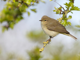 Chiffchaff (Phylloscopus Collybita) Perched on Hawthorn (Crataegus) Twig  Cheshire  April