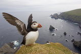 Atlantic Puffin (Fratercula Artica) Adult on Breeding Cliffs Hermaness Nnr  Shetland  UK  June