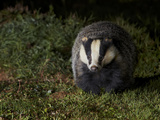 Badger (Meles Meles) at Night  Oxfordshire  England  UK  October