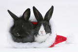 Two Baby Dutch X Lionhead Rabbits in a Father Christmas Hat