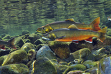 Arctic Charr (Salvelinus Alpinus) Males in a River Ready to Spawn  Ennerdale  Lake District Np  UK