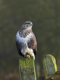 Common Buzzard (Buteo Buteo) Perched on a Gate Post  Cheshire  England  UK  December