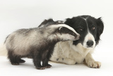 Young Badger (Meles Meles) and Black-And-White Border Collie