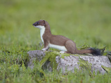 Stoat (Mustela Erminea) Standing on Rock in Saltmarsh  Conwy  Wales  UK  June