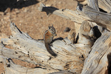 Uinita Chipmunk (Eutamias Umbrinus) on Fallen Tree Stump  Bryce Canyon Np  Utah  USA
