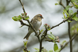 Redpoll (Carduelis Flammea) Adult Male Perched Wales  UK  February