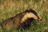Badger (Meles Meles) Adult  Portrait  Derbyshire  UK