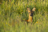 Roe Deer (Capreolus Capreolus) Young Doe in Summer Meadow  Scotland  UK