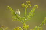 Willow Warbler (Phylloscopus Trochilus) Perched on Bracken  Murlough Nr  Northern Ireland  UK