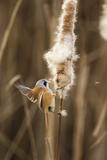 Bearded Tit - Reedling (Panurus Biarmicus) Male Landing on Bullrush and Feeding  London  UK
