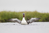 Red-Throated Diver (Gavia Stellata) Adult Stretching Wings on Breeding Loch  Highland  Scotland  UK