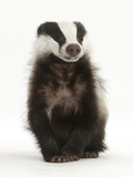Portrait of a Young Badger Sitting (Meles Meles)
