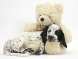 Black-And-White Border Collie X Cocker Spaniel Puppy  11 Weeks Old  Asleep on a Cream Teddy Bear