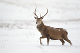 Red Deer Stag (Cervus Elaphus) Walking in Moorland in Snow  Cairngorms Np  Scotland  UK  December