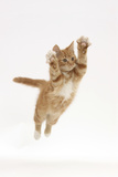Ginger Kitten Leaping with Legs and Claws Outstretched
