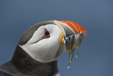 Puffin (Fratercula Arctica) with Sand Eels in Beak  Farne Islands  Northumberland  June