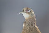 Female Pheasant (Phasianus Colchicus) Portrait Cairngorms National Park  Scotland  April