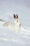 Mountain Hare (Lepus Timidus) in Winter Coat Sitting in the Snow  Scotland  UK  February