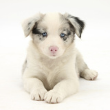 Merle Border Collie Puppy  6 Weeks  Lying with Head Up