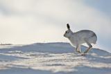 Mountain Hare (Lepus Timidus) in Winter Coat Running across Snow  Scotland  UK  February