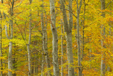 Common Beech (Fagus Sylvatica) Woodland in Autumn  Cairngorms National Park  Scotland  UK  October