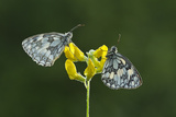Two Marbled White Butterflies Resting on Meadow Vetchling  Powerstock Common Dwt Reserve  UK