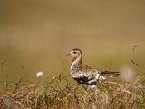 Golden Plover (Pluvialis Apricaria) in Breeding Plumage  Shetland Islands  Scotland  UK  May