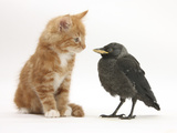 Ginger Kitten Staring at a Baby Jackdaw (Corvus Monedula)