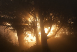 Sun Rising Through Trees and Mist  Arne Rspb Reserve  Dorset  August