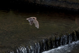 Adult Daubenton's Bat (Myotis Daubentoni) Flying over a Weir  England  UK  September